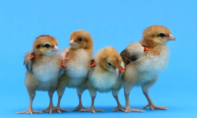 Βρετανία: Κότες – παρένθετες μητέρες για σπάνιες ράτσες πουλερικών