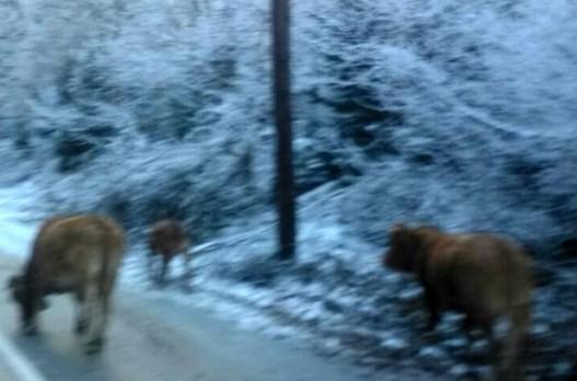 Δεν θα το πιστέψετε τι τρώνε οι αγελάδες στα χιονισμένα Τρίκαλα (Photos)