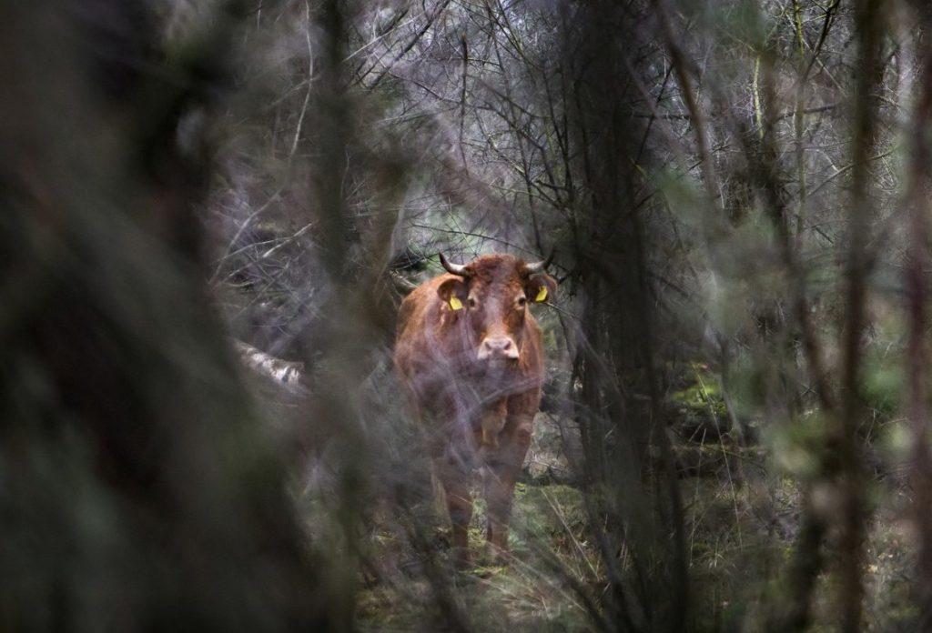 Ερμιέν: Η αγελάδα που ξέφυγε από το σφαγείο και πήγε σε Οίκο Ευγηρίας!