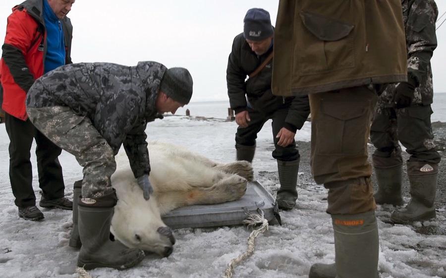 Μία εξουθενωμένη πολική αρκούδα περιπλανιέται σε πόλη της Σιβηρίας εκατοντάδες χιλιόμετρα μακριά από το περιβάλλον της