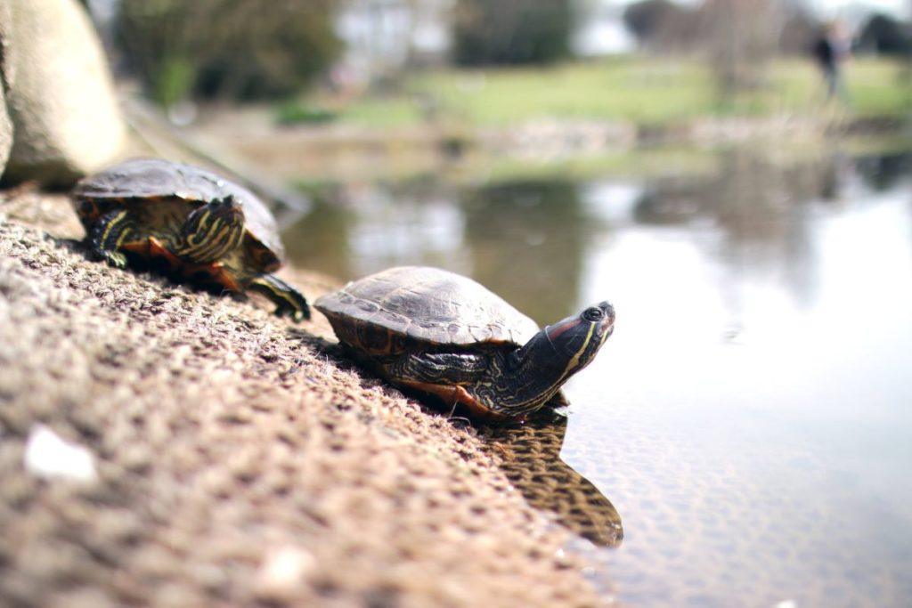 Οικογένεια βοηθά νεογέννητα χελωνάκια, που έχουν αποπροσανατολιστεί, να μπουν στη θάλασσα (Video)