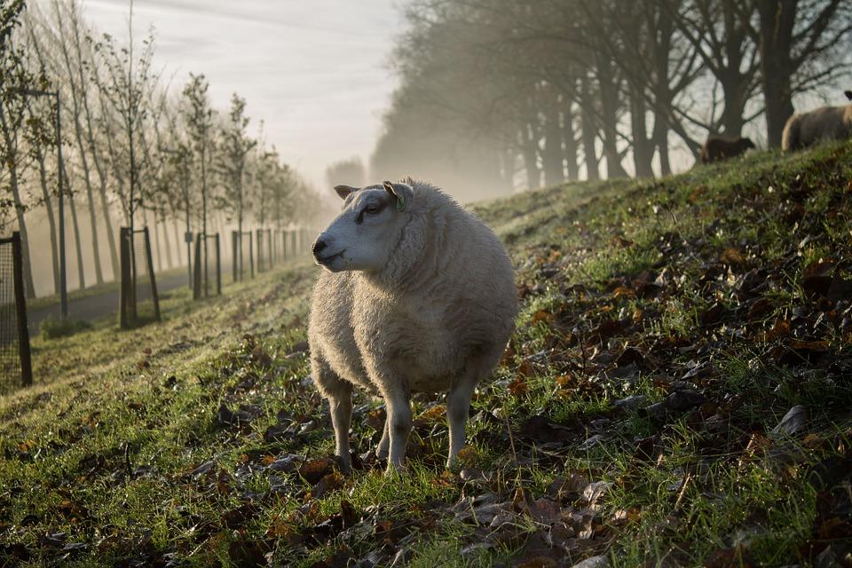 Πέθανε ο Κρις, το πρόβατο με το διάσημο μαλλί