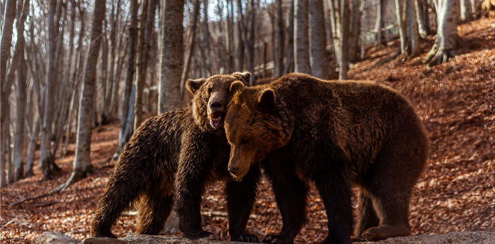 Ξύπνησαν οι αρκούδες και ανοίγει το Καταφύγιο του «Αρκτούρου» στο Νυμφαίο