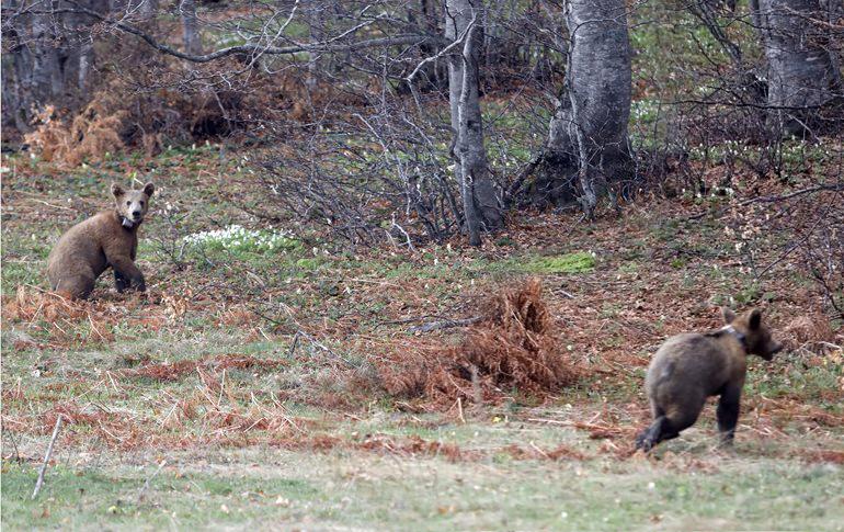 Φλώρινα: Δύο ορφανά αρκουδάκια βγήκαν ξανά στο φυσικό τους περιβάλλον