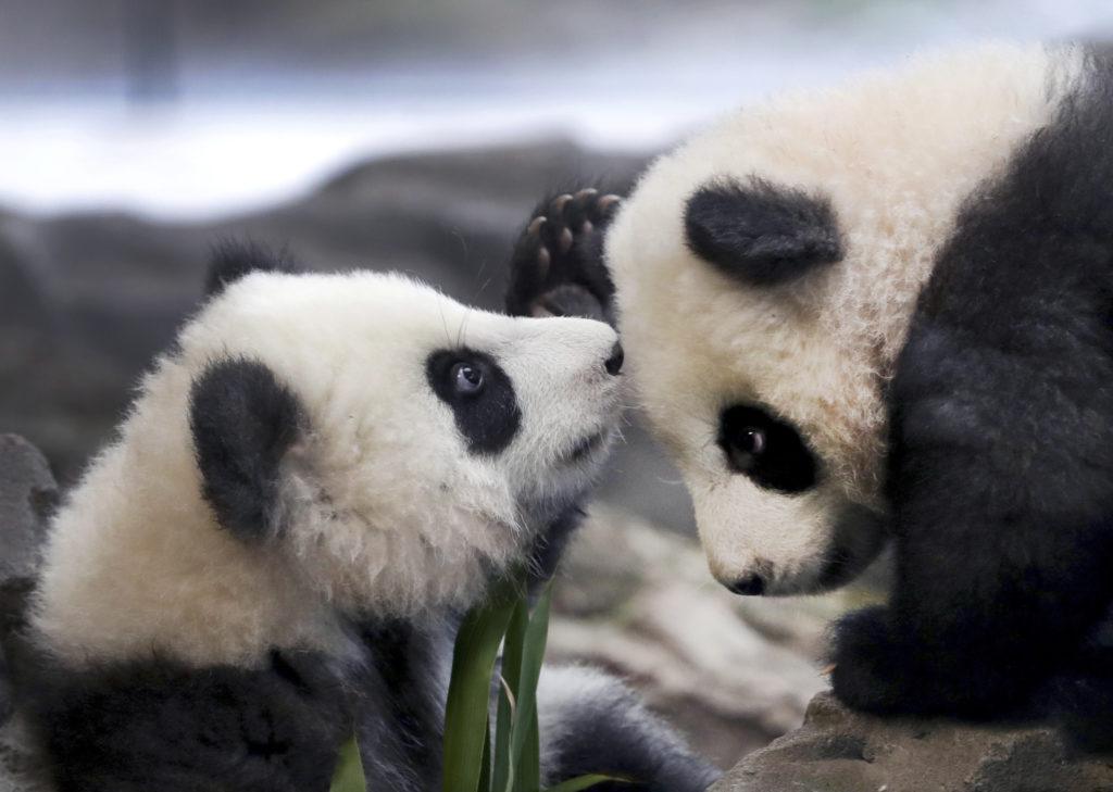 Καναδάς: Δύο γιγαντιαία πάντα θα επιστραφούν στην Κίνα λόγω κορονοϊού