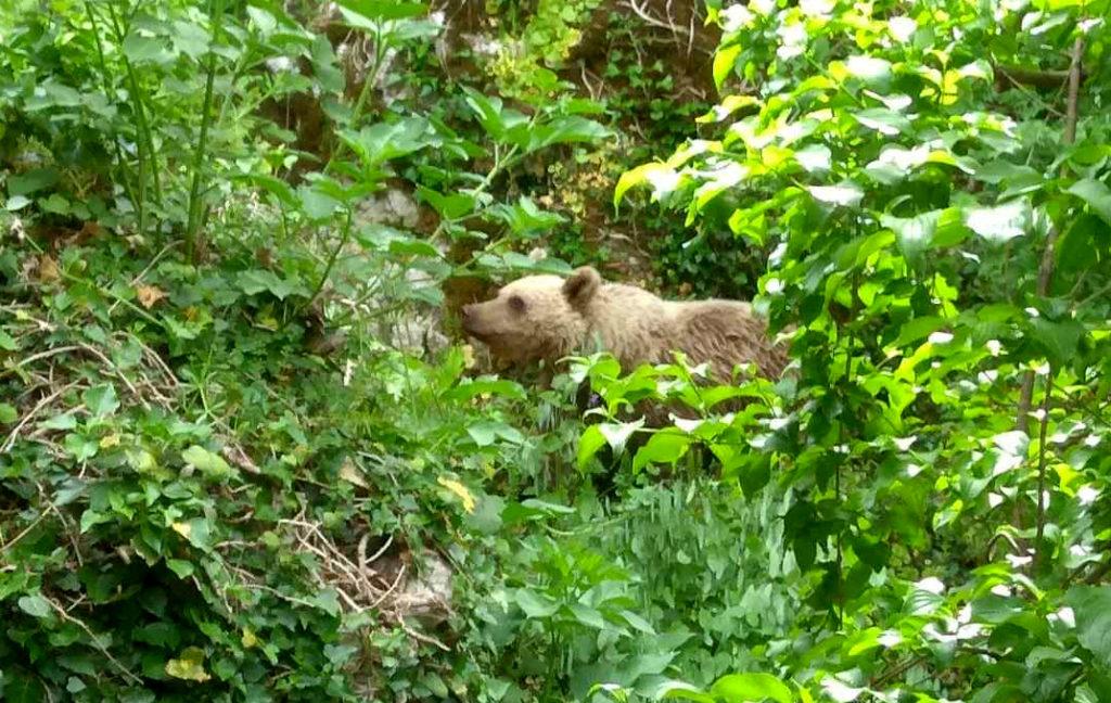 Ιωάννινα: Ένα αρκουδάκι «συμβιώνει» με τους κατοίκους στο Μικρό Πάπιγκο