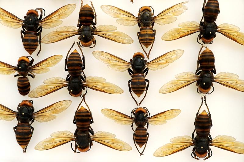 """Βασιλικός πολτός: Το """"θαύμα"""" της μέλισσας που καταστρέφεται όταν βγει απ' την κυψέλη"""