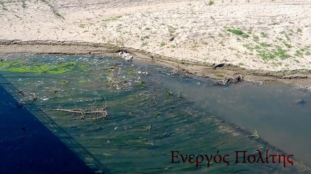 Έγκλημα χωρίς τέλος: Χιλιάδες νεκρά ψάρια και πάλι στον Πηνειό (video – εικόνες)