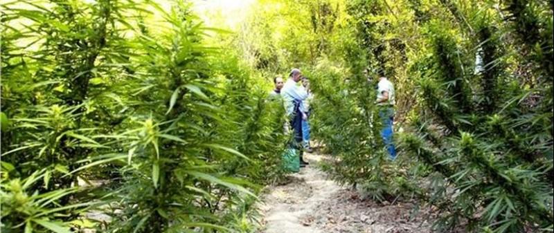 Ξέμειναν από… καλούς σπόρους οι χασισοκαλλιεργητές της Αλβανίας, λόγω καραντίνας!
