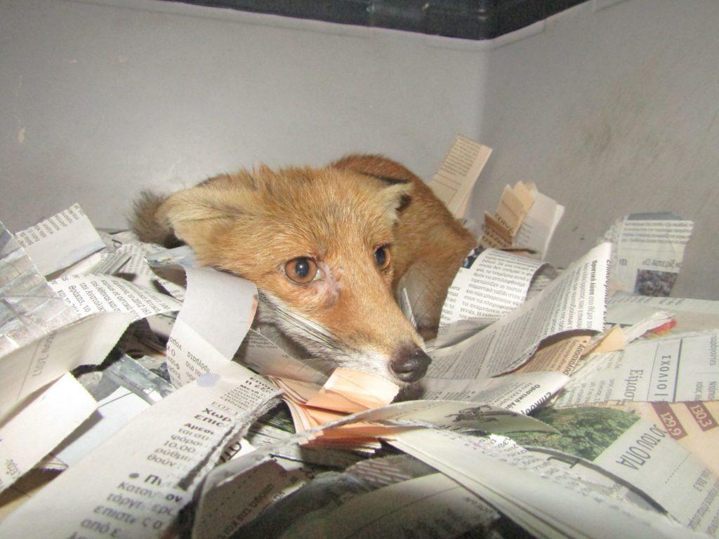 Τι δουλειά έχει η αλεπού στο Παγκράτι;