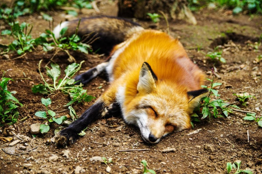 Γάτα τρέπει σε… φυγή μία αλεπού μέσα σε αυλή σπιτιού (Video)