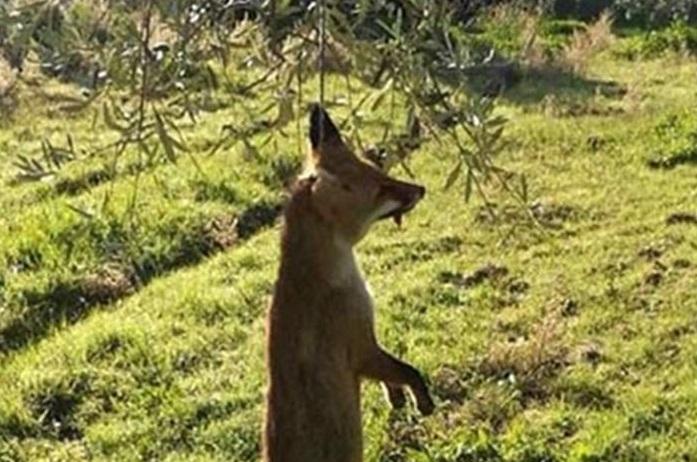 Αγρίνιο: Αποτροπιασμός από τις εικόνες με την κρεμασμένη αλεπού (Photos)