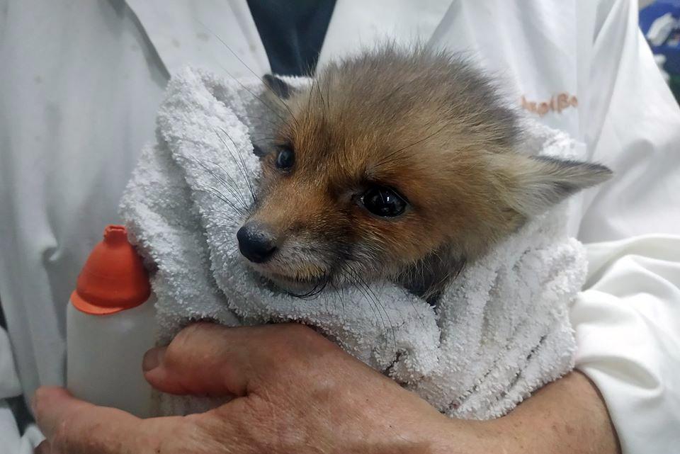 Σώστε τα ορφανά αλεπουδάκια!