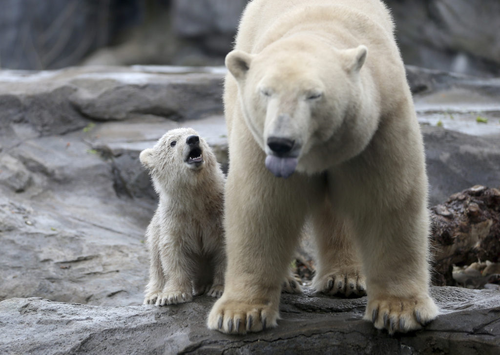 Οι πολικές αρκούδες κινδυνεύουν να εξαφανιστούν μέχρι το τέλος του αιώνα