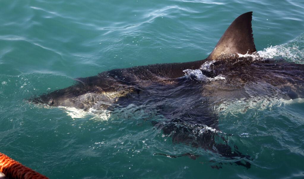 Αυστραλία: Την «περιτριγυρίζουν» πάνω από 2000 ενήλικοι λευκοί καρχαρίες