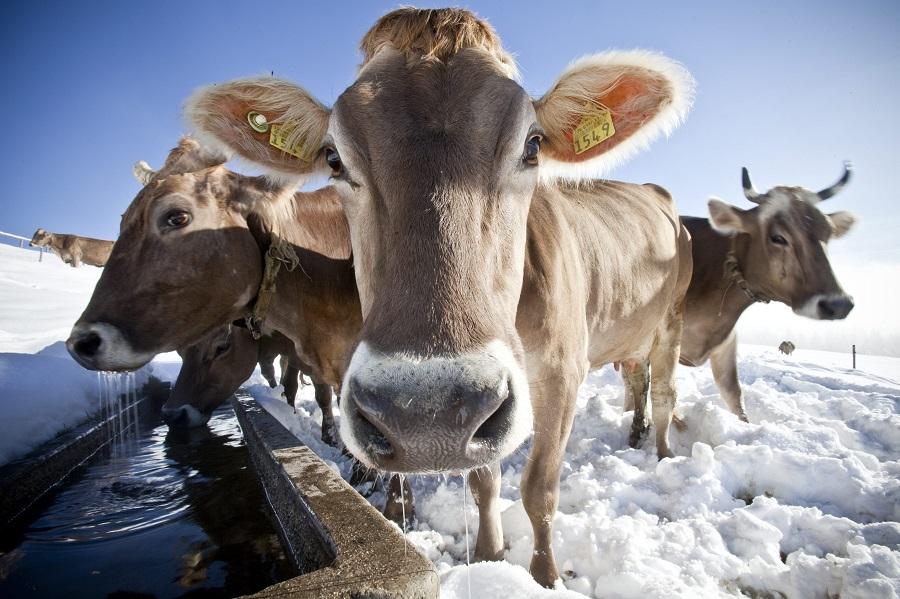 Οι Ελβετοί ψηφίζουν την Κυριακή: Αγελάδες με κέρατα ή χωρίς;