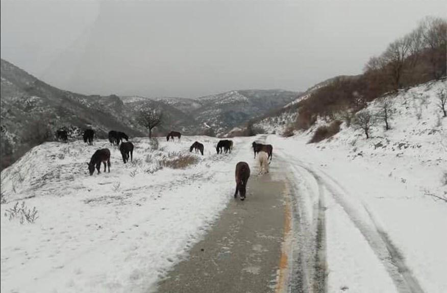 Τα άγρια άλογα στα χιονισμένα τοπία της Ροδόπης
