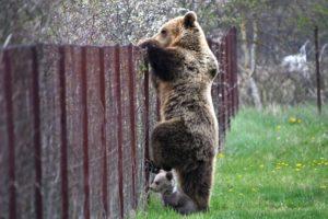 Αρκούδα με το μωρό της «συνελήφθη» να κλέβει κεράσια! (Photos)