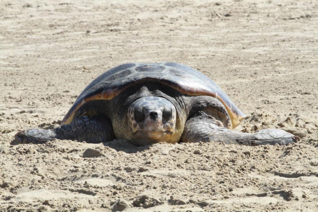 Χελώνα καρέτα-καρέτα άφησε τα αβγά της σε παραλία της Λούτσας!