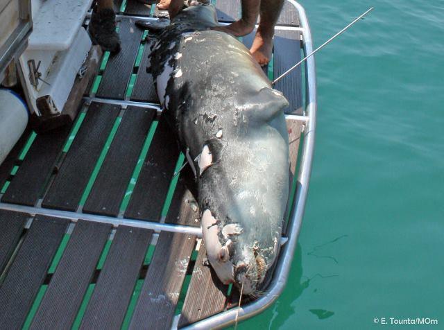 Σκότωσαν τον «Κωστή» τη διάσημη φώκια της Αλοννήσου