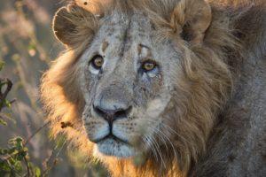 Κένυα: Πανικός από λιοντάρι που βγήκε από το πάρκο και «έκανε βόλτα» στο Ναϊρόμπι! (Video)