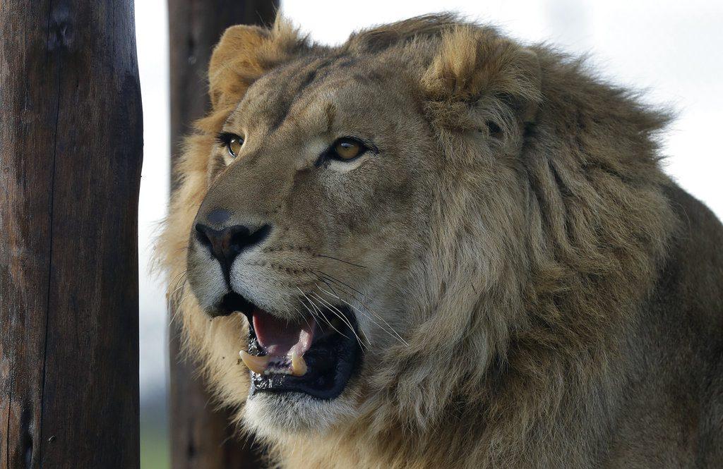 ΗΠΑ: Έξι λιοντάρια και 3 τίγρεις του ζωολογικού κήπου της Ουάσιγκτον θετικά στον κορονοϊό
