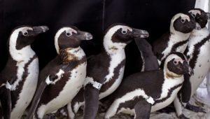 Nότια Αφρική: Μέλισσες σκότωσαν 63 πιγκουίνους ενός απειλούμενου είδους